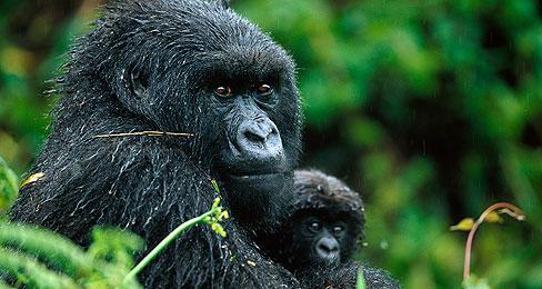 121114_gorilla_tout2