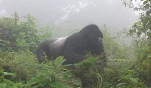 4 day virunga gorila trekk