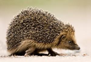 Hedgehog%2c-Peter-Mallett%2c-North-Burlingham%2c-20-October-2012-(Custom)