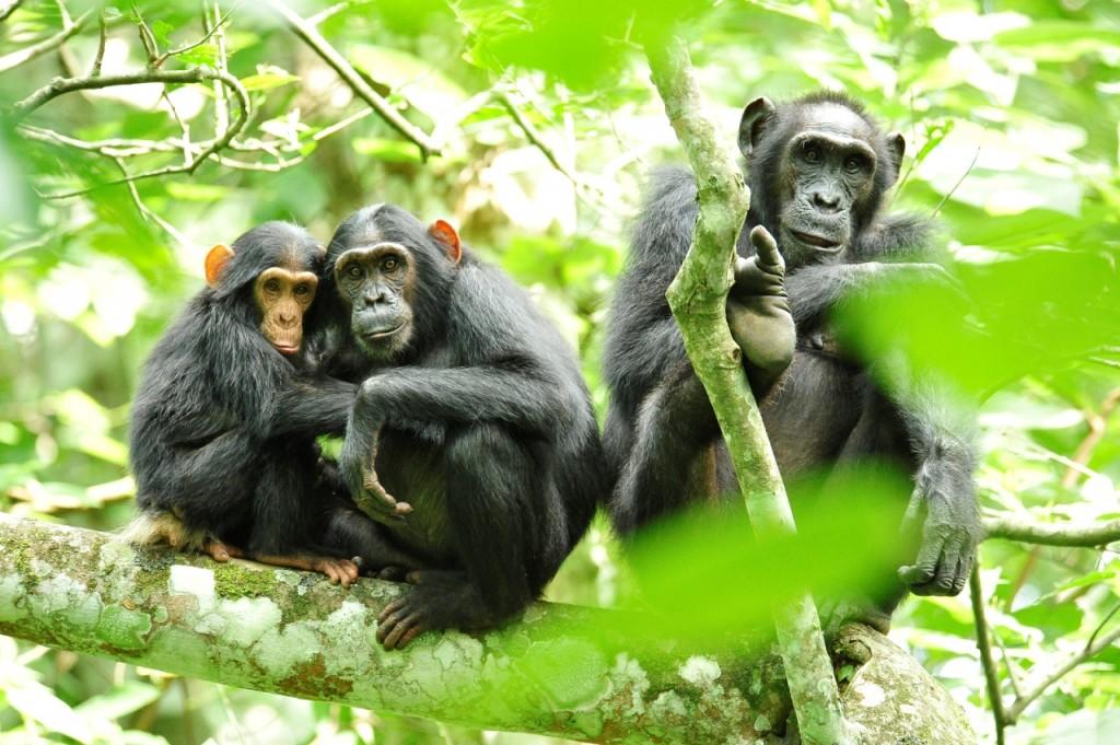 Kibale-gorillas