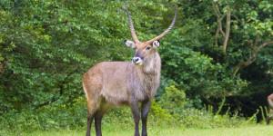 Male_Waterbuck_Mount_Elgon_National_Park_Kenya_58615180