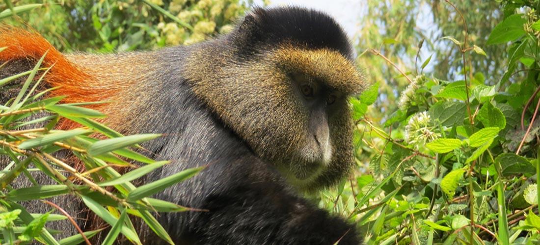 Golden Monkey - Mgahinga Gorilla National Park
