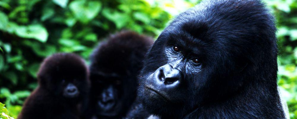 Mountain Gorilla - Mgahinga Gorilla National Park