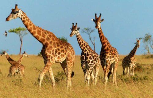 Wildlife Safaris in Uganda - Murchison Falls National Park