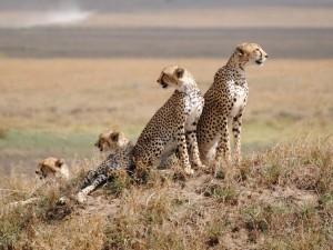 cheeters at serengeti national park