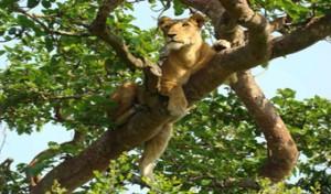 climbing-lions