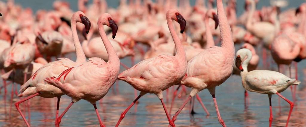 flamingos at lake nakuru park kenya