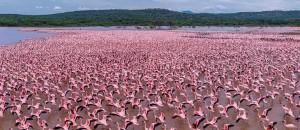 flamingos at lake bogaria