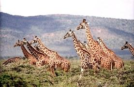 giraffe-657773__180