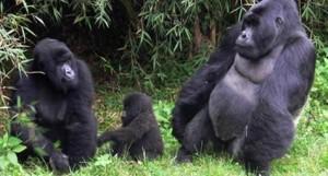 Bwindi Gorilla | uganda gorilla heritage