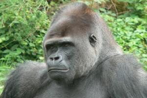gorille -dos argentÈ