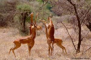 kenya safaris-samburu national park