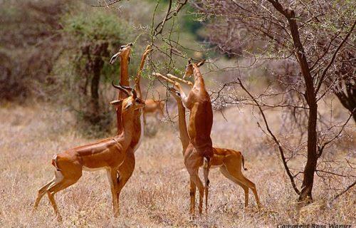 Samburu National Park Wildlife Safari Kenya