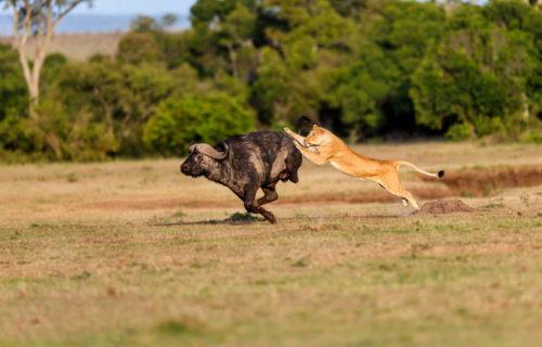 lion day hunting at masai mara