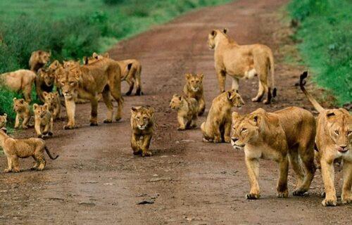Lion Pride - Tanzania Safaris