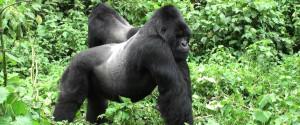 mount-gorilla-header (1)