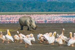 rhinos,flamingos & pelicans at lake nakuru