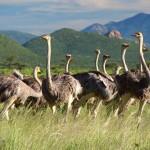 samburu national park ostriches