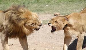 serengeti-lions-quarell