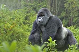 Mountain gorilla (Gorilla gorilla beringei) silverback in Susa group, Parc National des Volcans, Rwanda