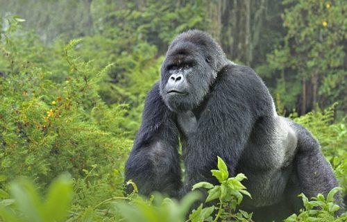 Rwanda Gorilla Safaris