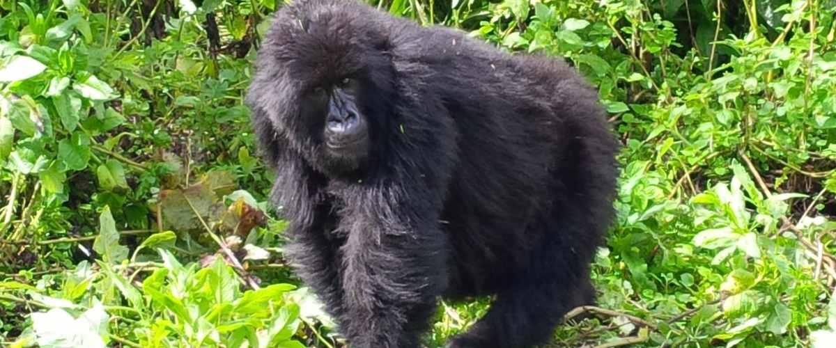 volcanoes-rwanda-gorilla - 4 Days Volcanoes Gorilla treks & Karisoke center safaris