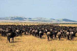 widabeest grazing at serengeti national park