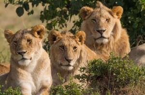 1413270020masai-mara-lions