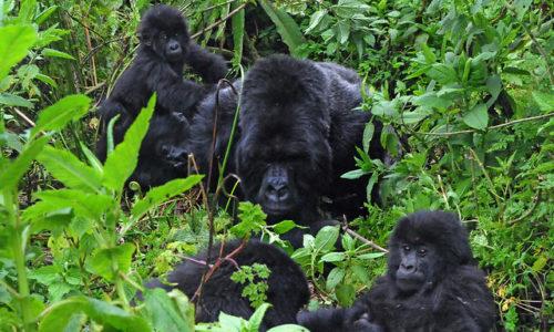 Rwanda Gorilla tours in Virunga National Park