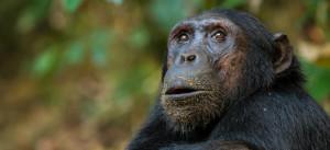 chimp-nyungwe