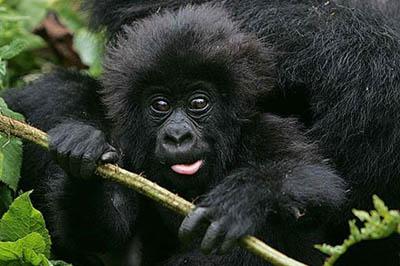 baby_gorilla_in_rwanda tour