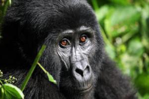 gorilla_3333275a-large-1