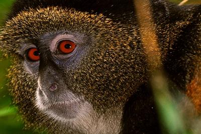 rwanda-golden-monkey-1