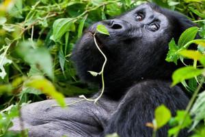 rwanda-gorilla-tour