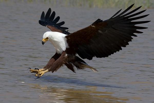 african-fish-eagle2 - 2 Days Uganda birding safaris