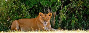 lion in Murchison