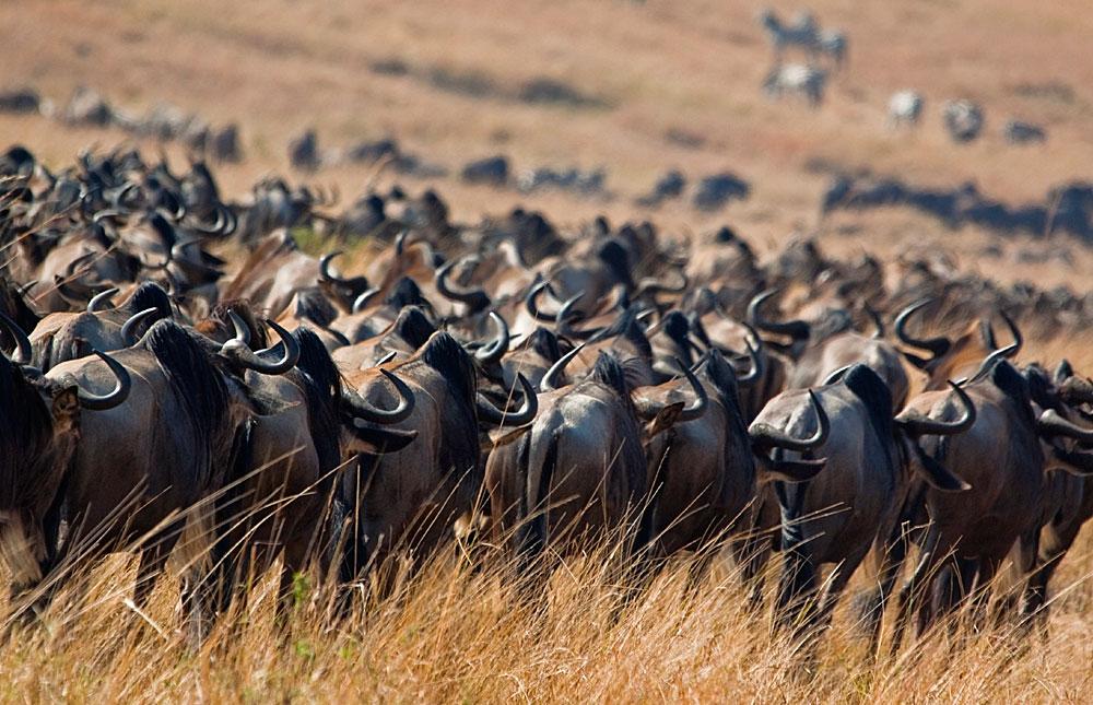 wildebeest at masai mara national park - 3 Days Tsavo east and Amboseli safari