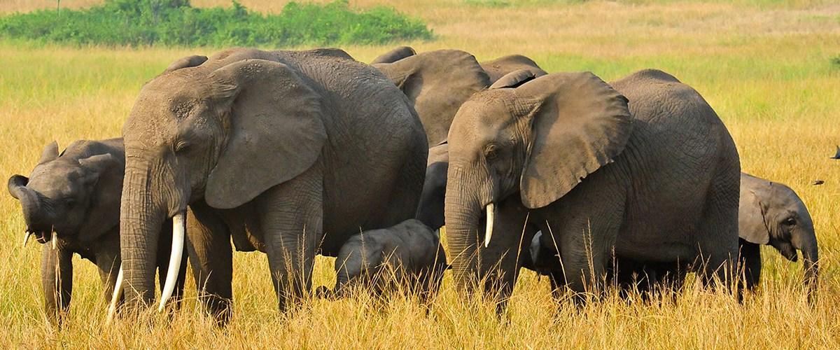 uganda elphants - 10 Days Uganda gorilla,chimpanzee & wildlife safari