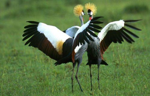 Birding Safari - Uganda