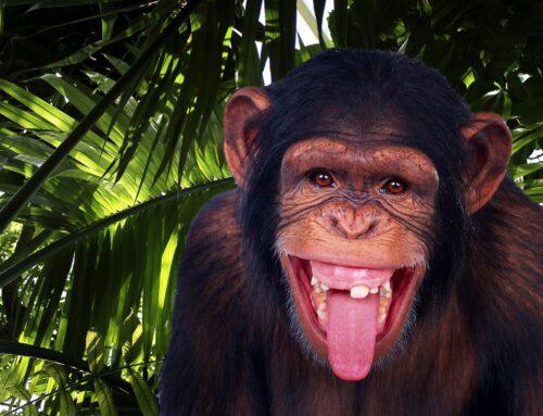 Chimpanzee Trekking in Uganda – Where to see Chimps