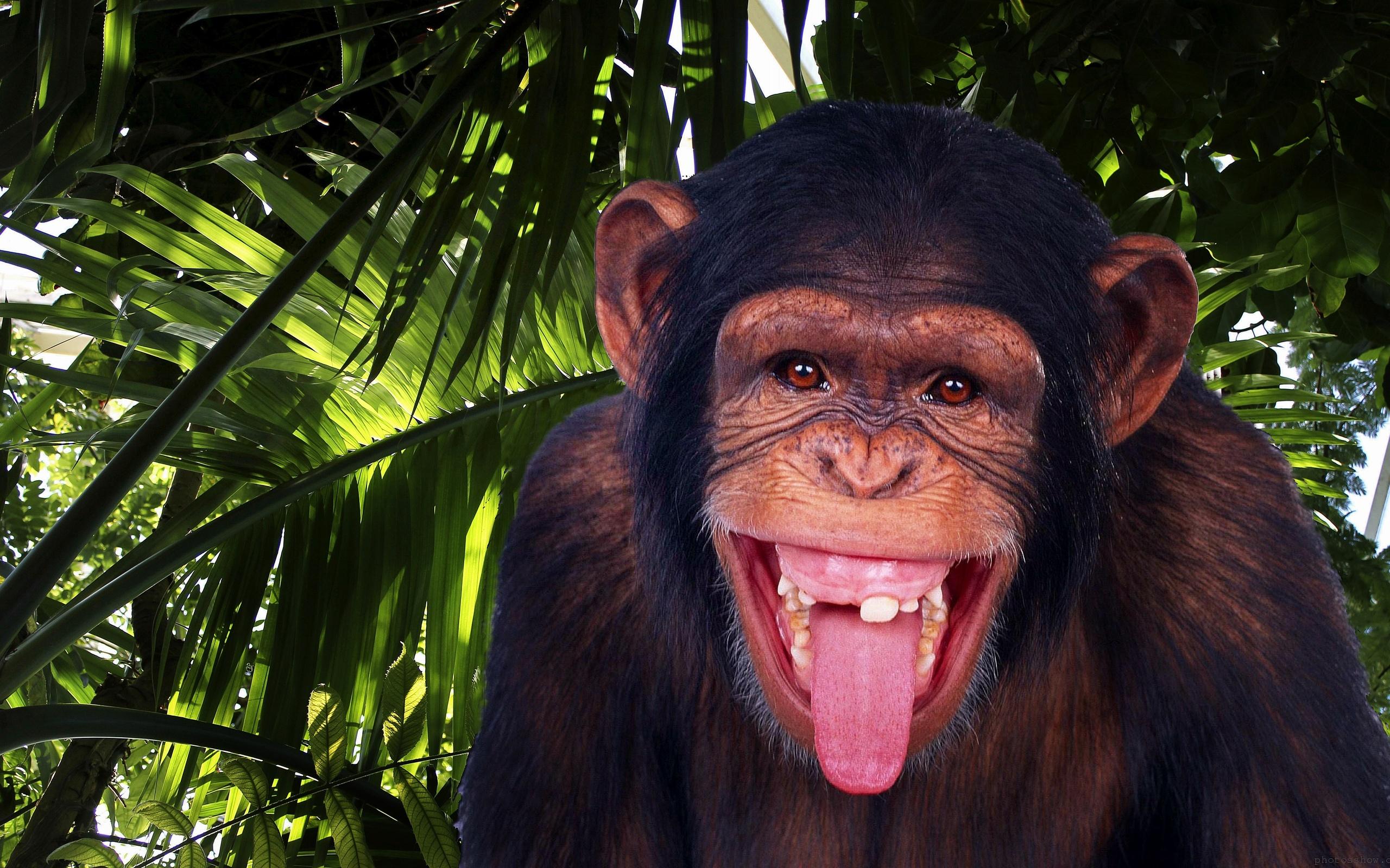 Chimpanzee-Kibale Forest National Park - gorilla tours