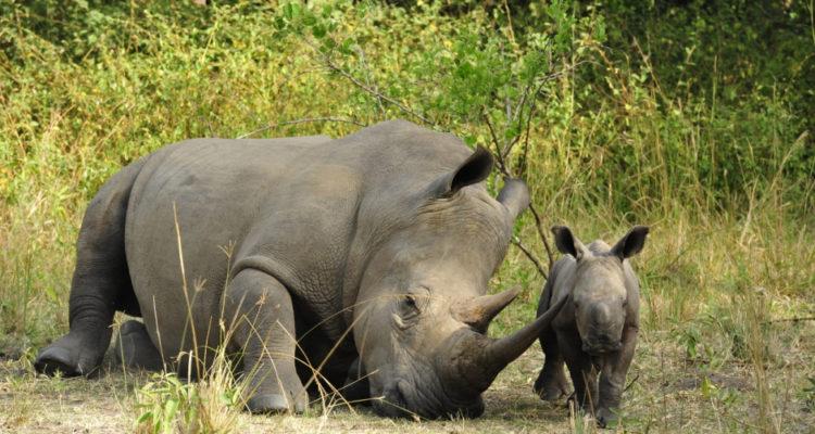 Ziwa Rhino Sanctuary - Rhino Tracking