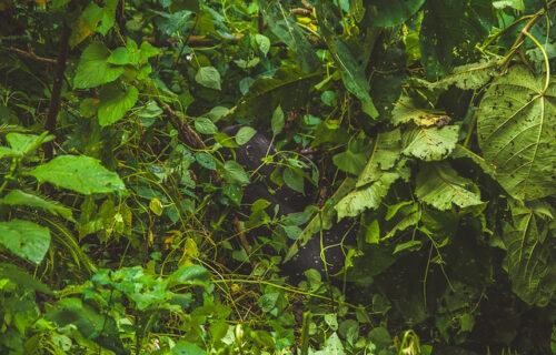 Bwindi forest national Park - Gorilla tours in Uganda
