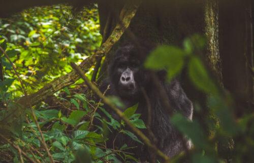 Bwindi Impenetrable Forest National Park - Uganda Gorilla tours