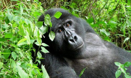 Gorilla Trekking- Gorilla Tracking tours Congo