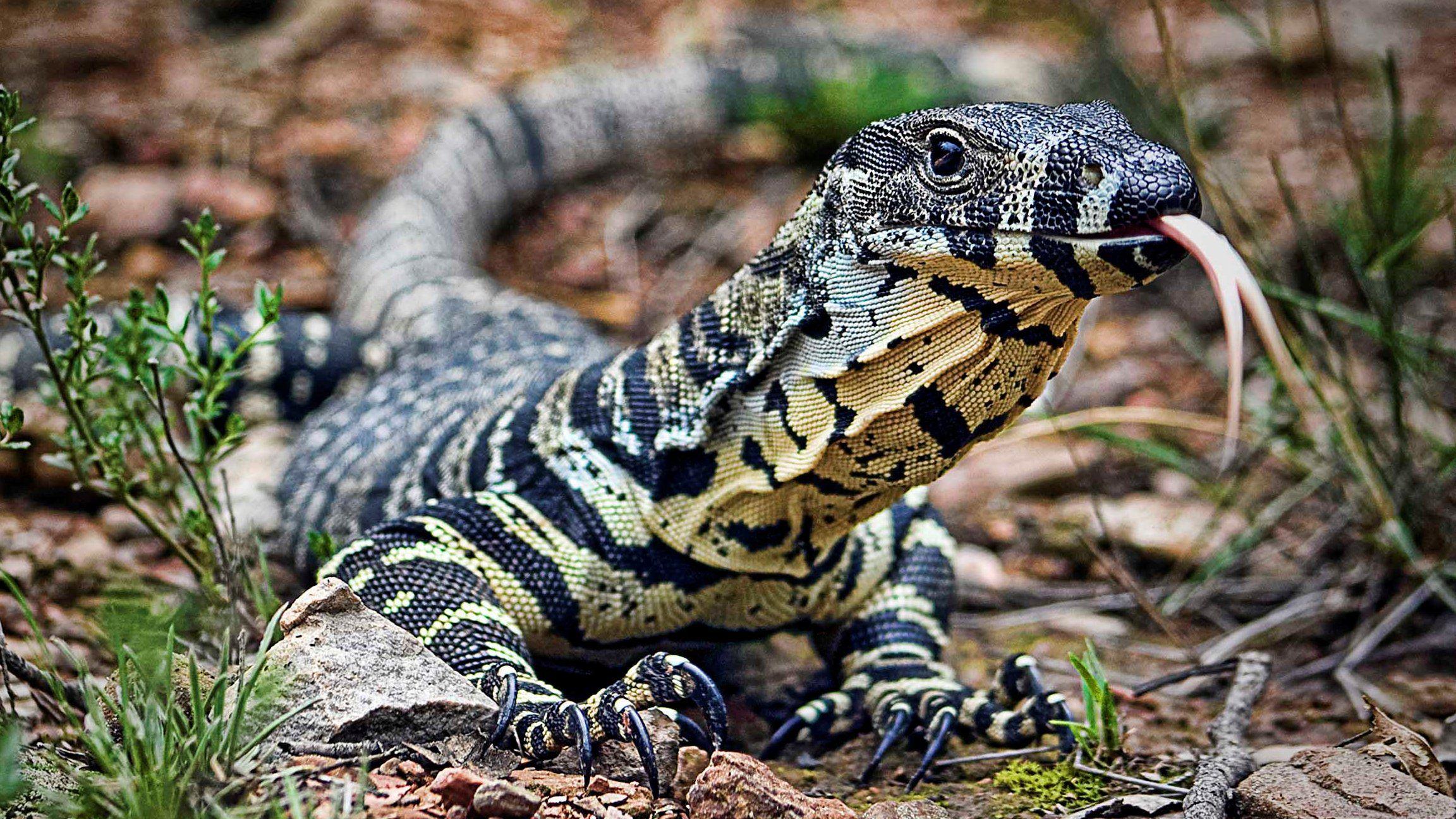 - Reptiles