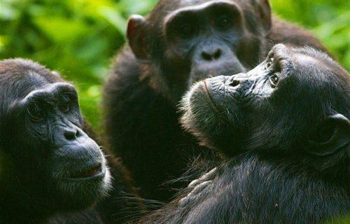 Ngamba Islanda Safari Uganda