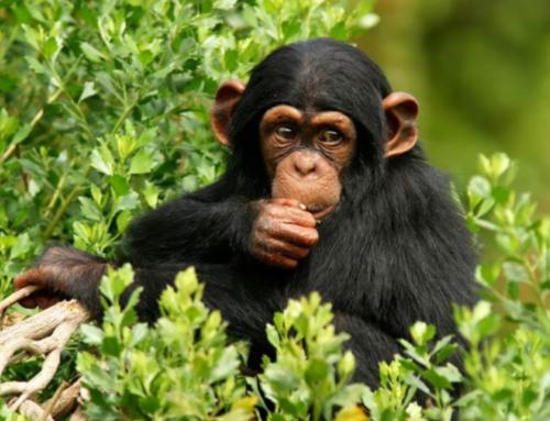 Best Time for Chimpanzee Trekking in Nyungwe