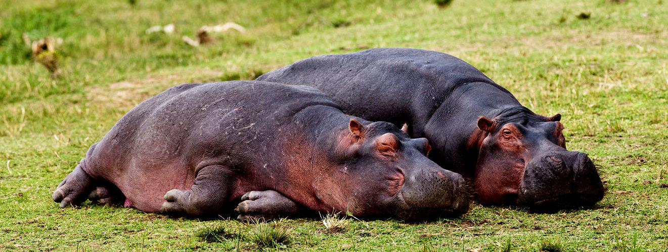 Hippo Census