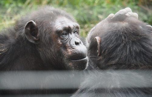 Ol Pejeta Chimpanzee Sanctuary Kenya